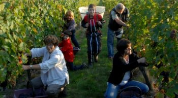 Maison Audebert – Grape harvest – Bourgueil, France.