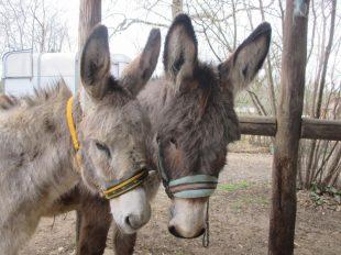 Bouz'âne à MOSNAY - 2  ©