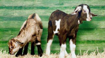 chèvres2