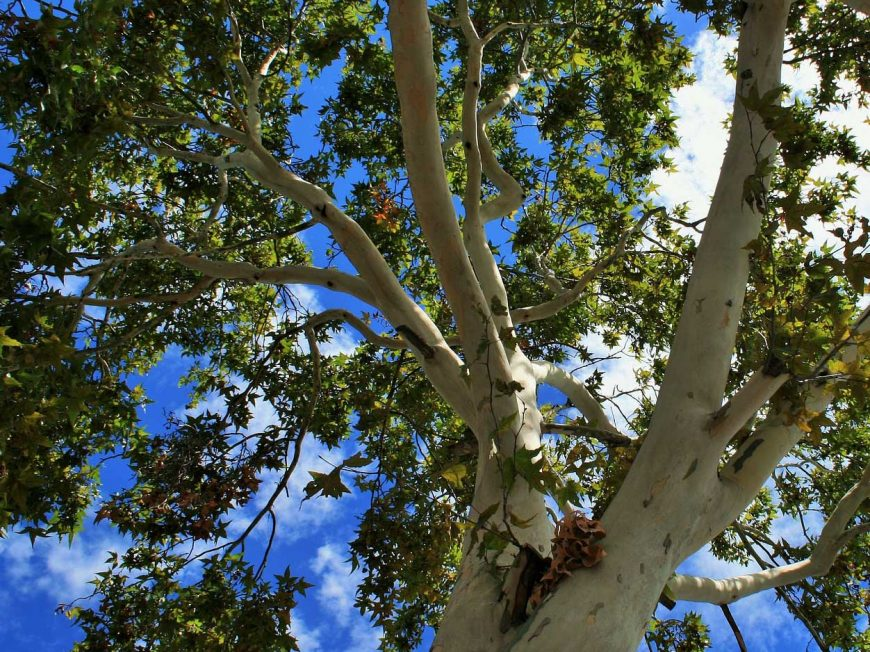 Tous à la découverte des arbres de rues à MONTARGIS © EcoloKaterre