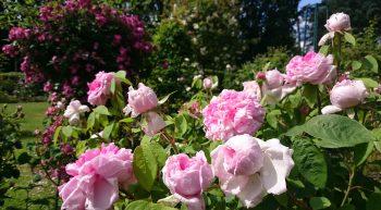 Goût de roseraie