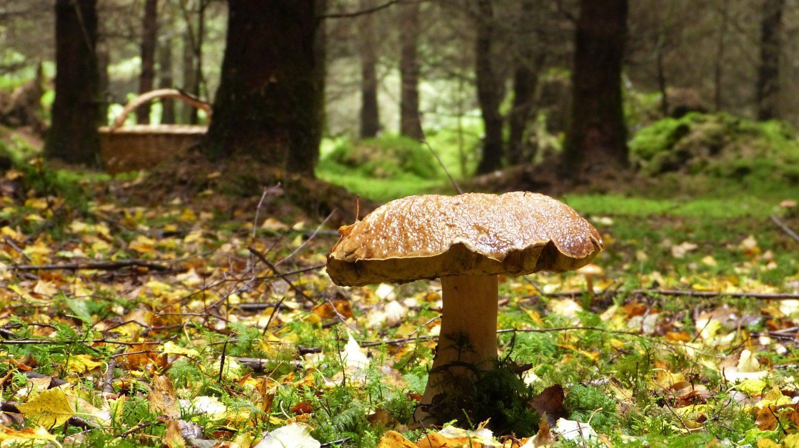 Sortie champignons à LA LOUPE - 2  © Image-parsilviarita-de-Pixabay-