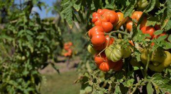 Jardin-tomates-Montlouis-NB-aout-2018