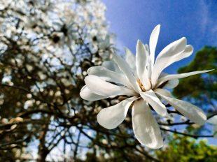 Concours photos «Magnolias» à INGRANNES - 2  © Cristiano FERRO