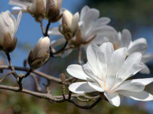 Dimanches Magnolias à INGRANNES - 2  © Jean-François GROSSIN