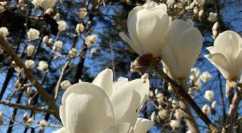 Constellation de fleurs de Magnolias