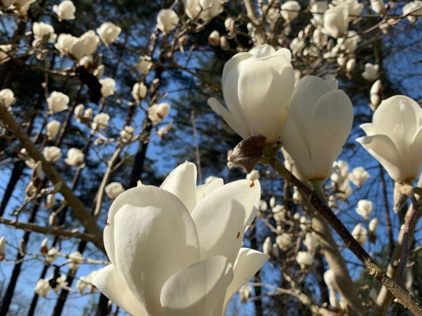 Dimanches Magnolias à INGRANNES © Martine HURE