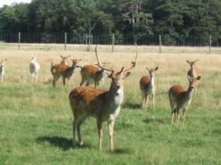 Réserve de Beaumarchais – Les grands gibiers d'élevage en Safari Train à AUTRECHE - 6  © Réserve de Beaumarchais