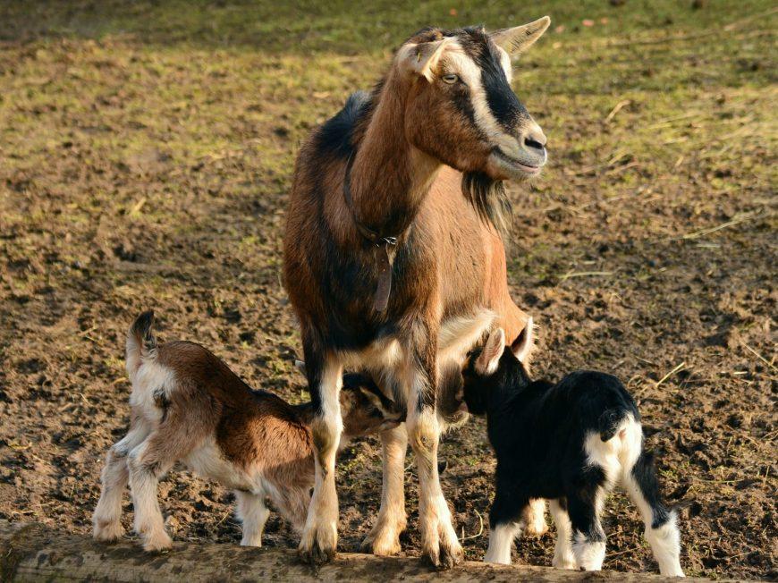 L'élevage de chèvres de l'abbaye de Nottonville à NOTTONVILLE © L'élevage de chèvres de l'abbaye de Nottonville