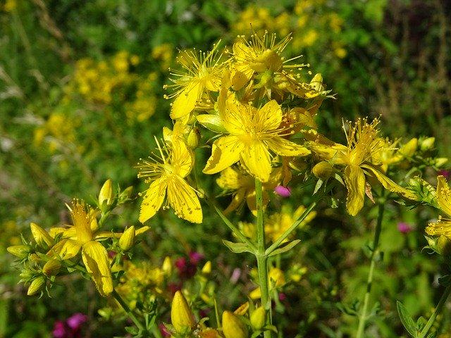Atelier plante : Le Millepertuis à CHATEAUNEUF-SUR-LOIRE © pixabay