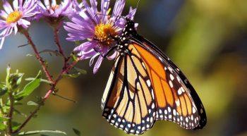 papillon-tourainenature