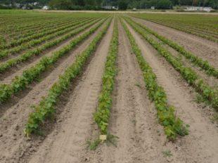 La belle affaire, visite de la pépinière viticole Duval Voisin à COTEAUX-SUR-LOIRE - 3  ©  Pépinière Duval Voisin