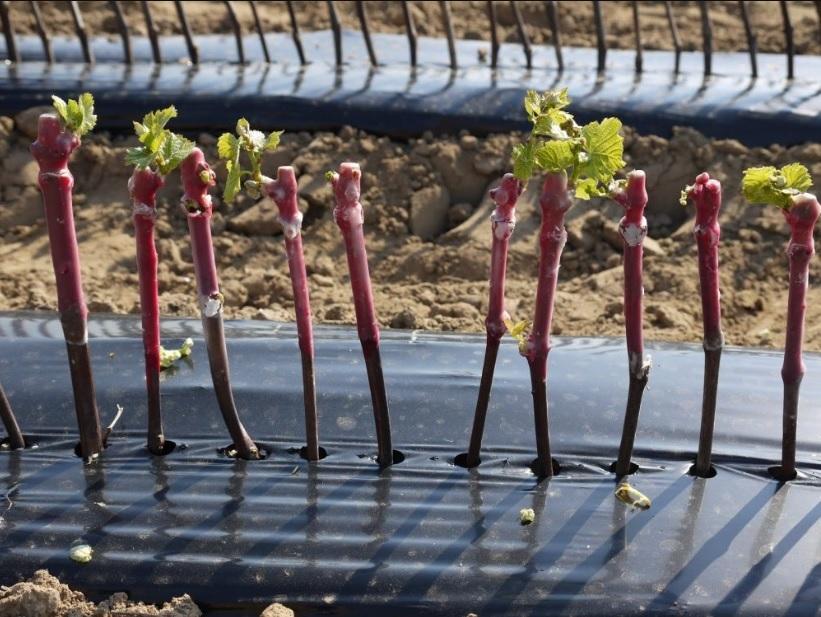 La belle affaire, visite de la pépinière viticole Duval Voisin à COTEAUX-SUR-LOIRE ©  Pépinière Duval Voisin