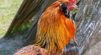 poules-manuela-le-haut-montmartre