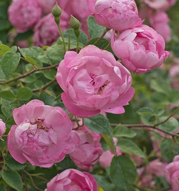 La Vie en Rose(s) à NOGENT-SUR-VERNISSON © Richard BONNAIRE