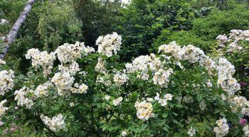 rosier 'rosalita' – Copie