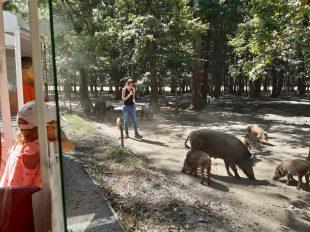 Réserve de Beaumarchais – Les grands gibiers d'élevage en Safari Train à AUTRECHE - 3  © ADT Touraine / Jérôme Huet