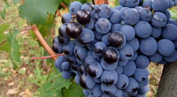 vins-cognard-grappe-raisin