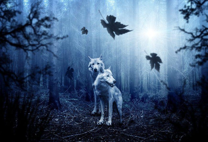 Loup y es-tu ? à PAUCOURT © pixabay